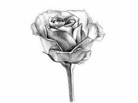 玫瑰花铅笔画画法教程